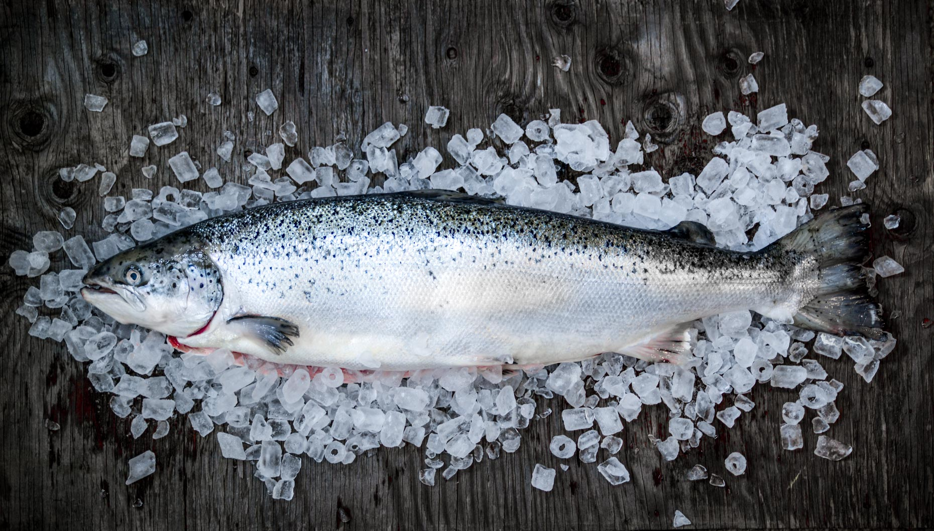 Whole Fresh Farmed Salmon on Bed of Ice on Rustic Wood
